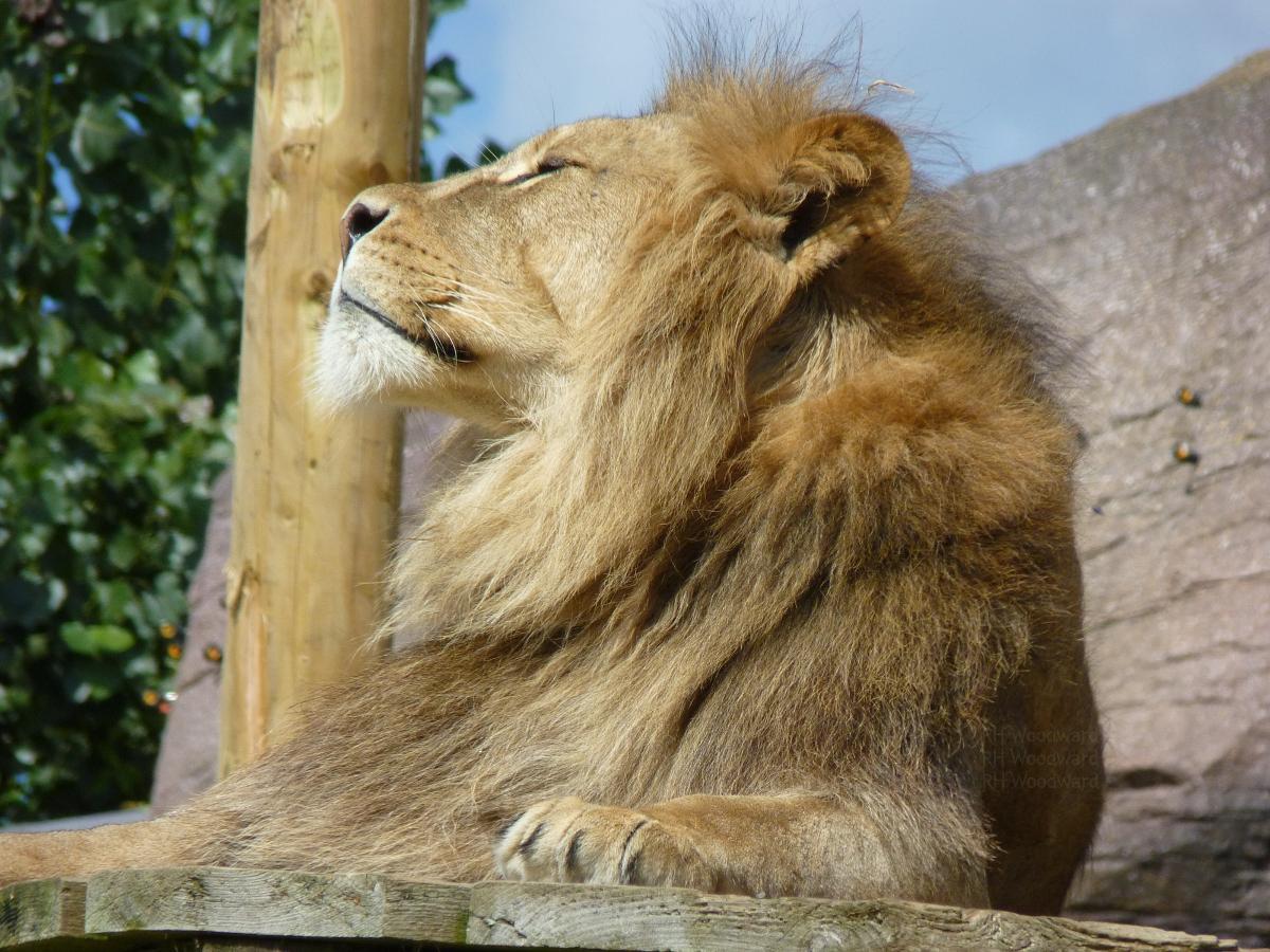 Regal Lion-watermark